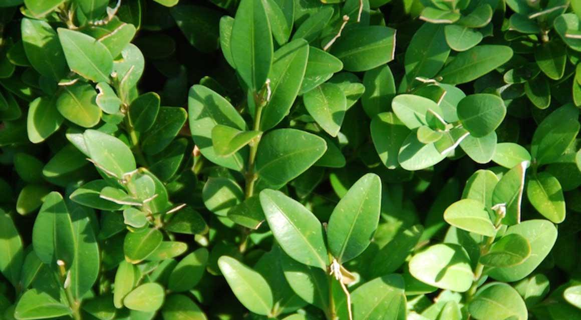 Populaire giftige haagplanten buxus