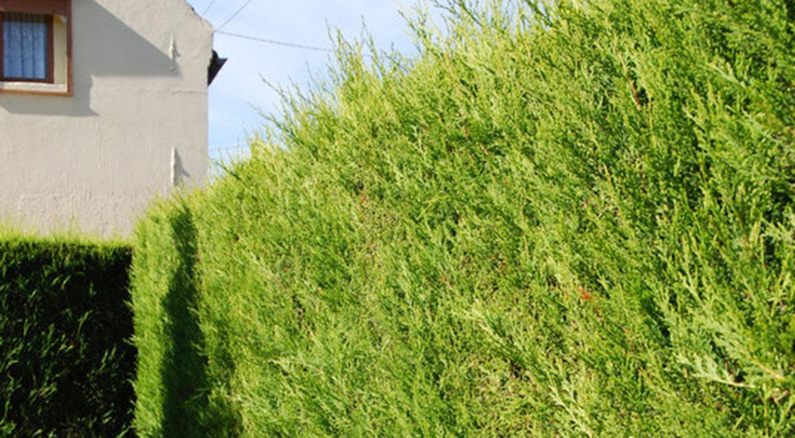 Privacyhaag met coniferen