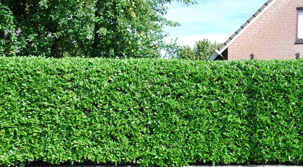 Privacyhaag voor de grotere tuin. Laurier 'Rotundifolia'