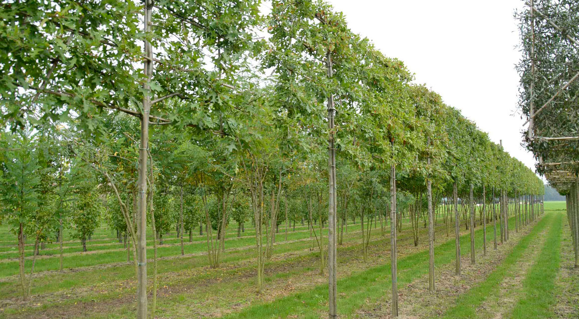 Quercus palustris (moeraseik)