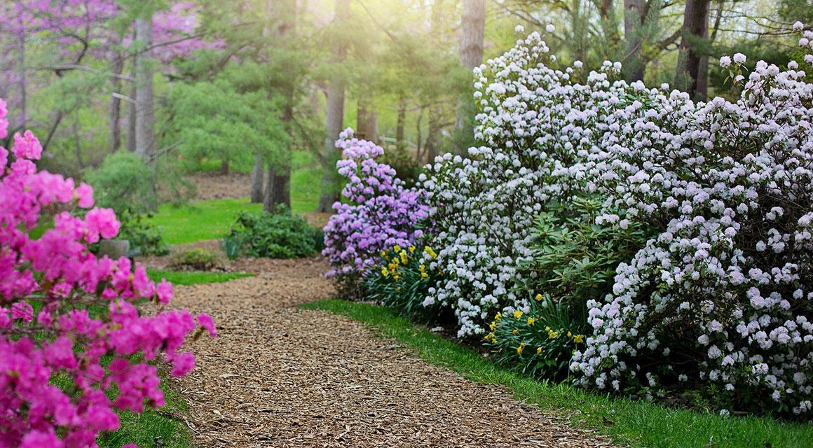 Rhododendron bemesten