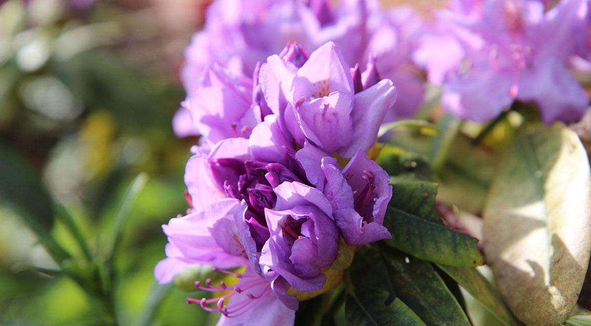 Rhododendron im Garten? Entscheiden Sie sich für Qualität!