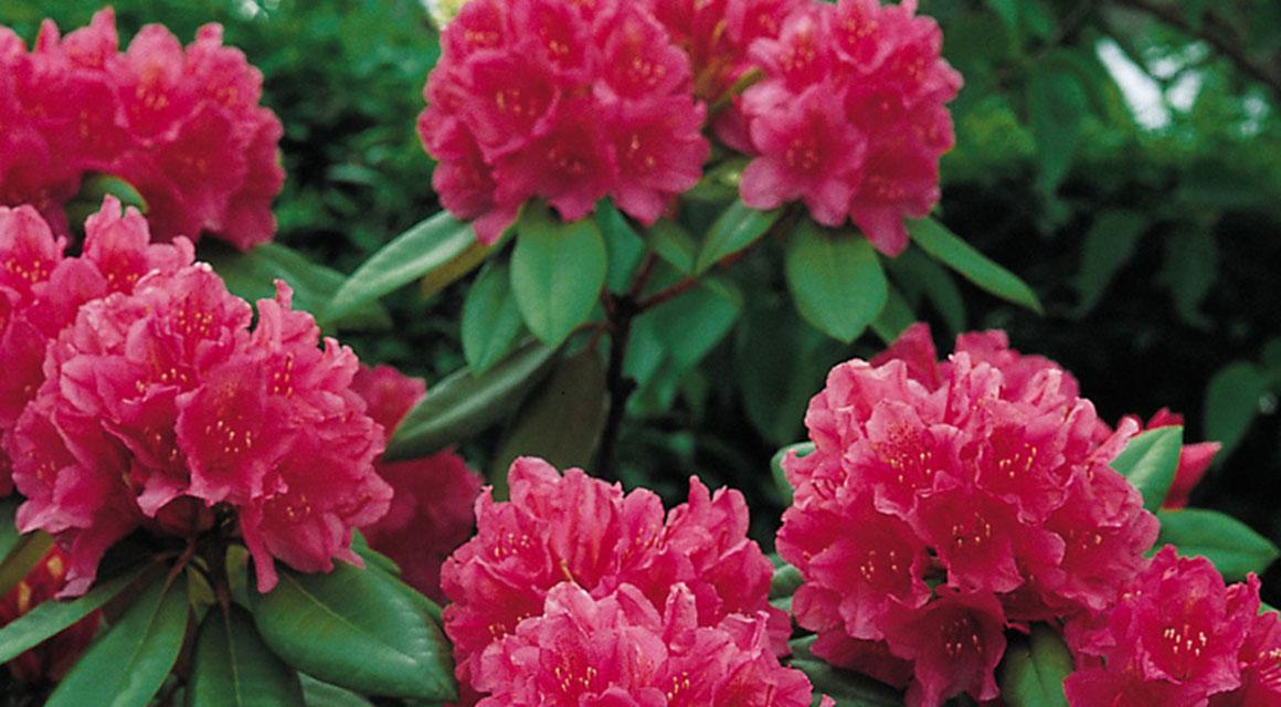 Een rhododendronhaag snoeien en verzorgen