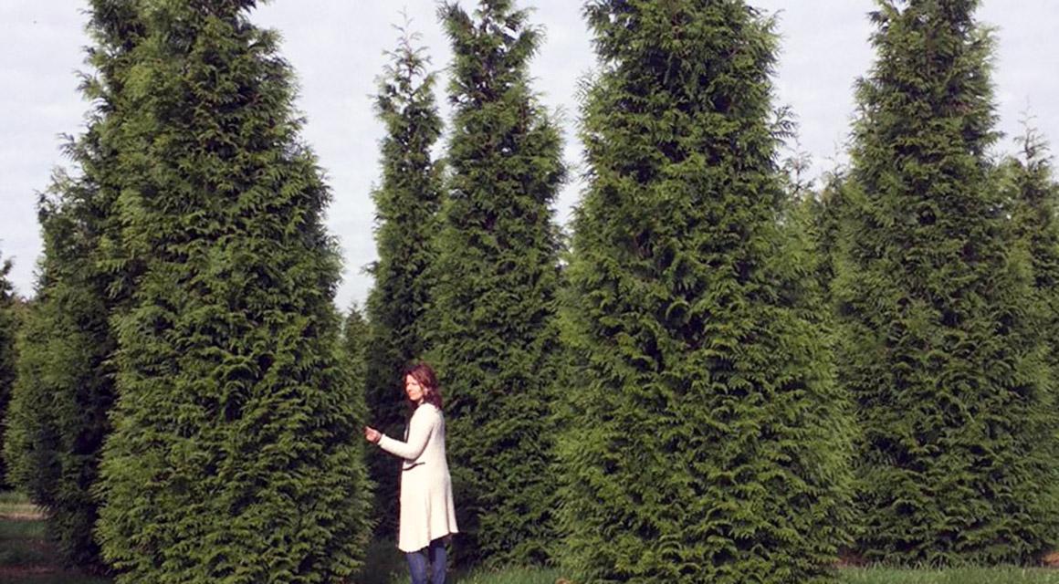 Riesenlebensbaum 'Atrovirens'