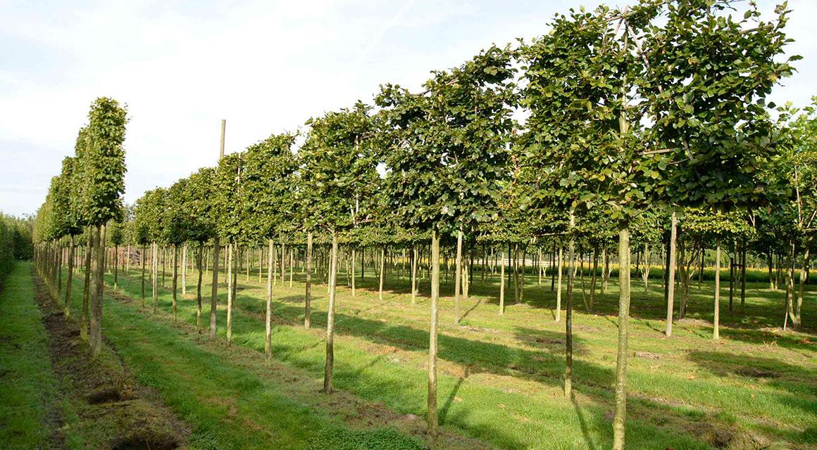 Rotbuche als Spalierbaum in Ihrem Garten
