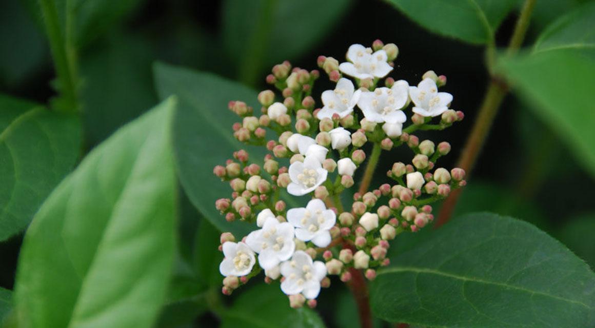 De roze knoppen en witte bloemen van de sneeuwbal