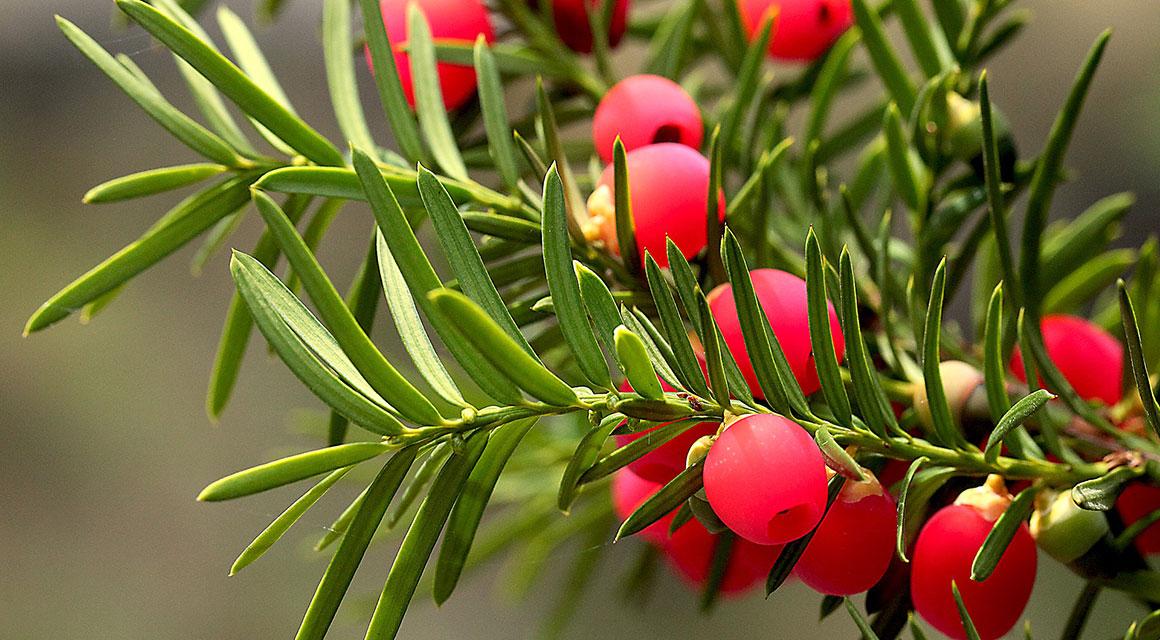 Verschillende soorten coniferen in de zomer