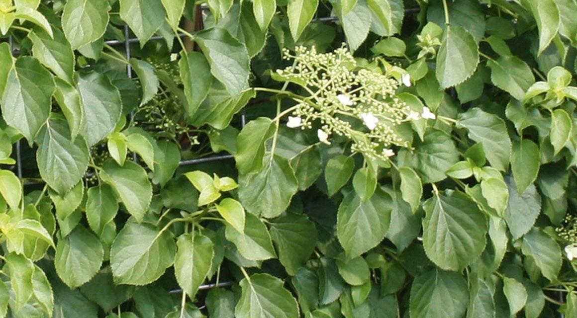 Andere soorten hortensia die als haagplant geschikt zijn
