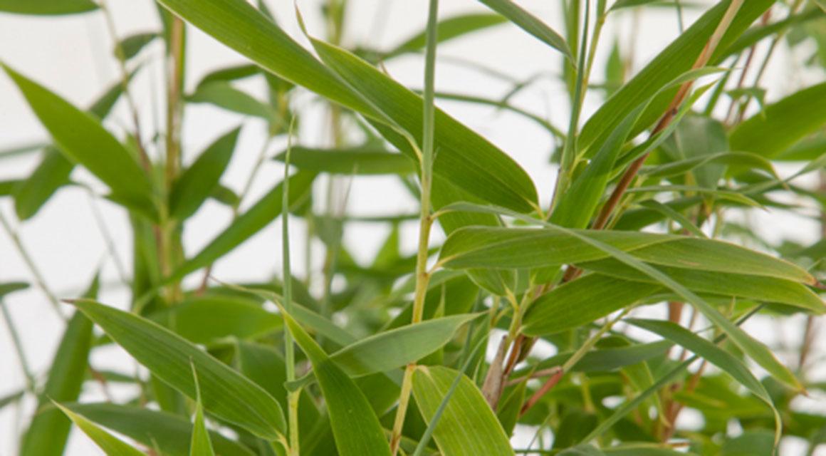 Welke soorten niet-woekerende bamboe zijn er?
