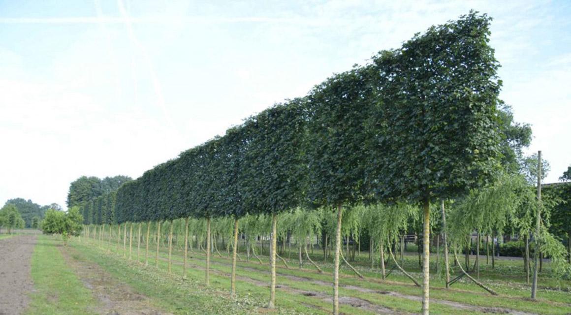 Was sind Spalierbäume eigentlich genau?