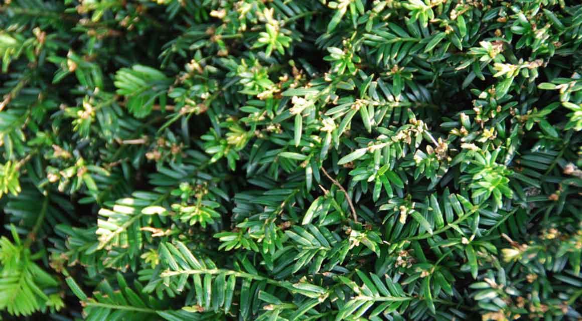 Taxus aanplanten in uw tuin