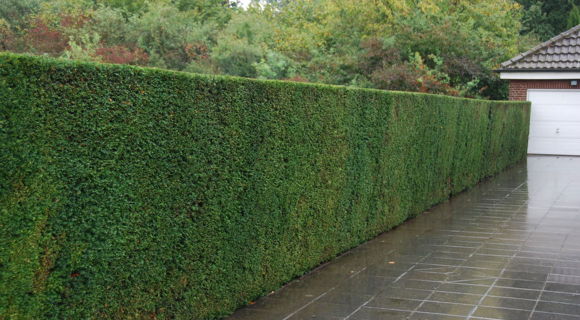 Taxus in een informeel tuinontwerp: kan dat?