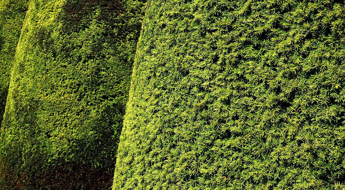 Taxus online kopen bij Haagplanten.net