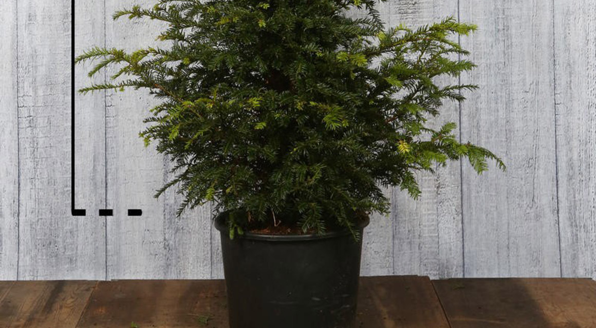 Taxus in pot planten