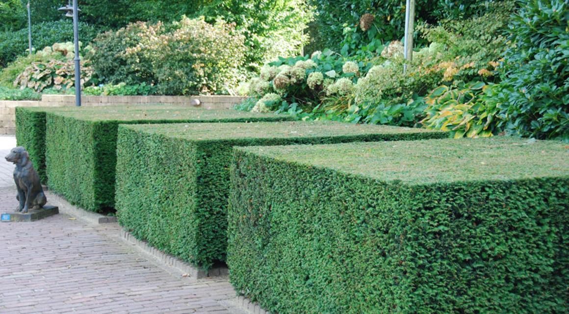 De taxus is ideaal voor lage hagen en vormsnoei