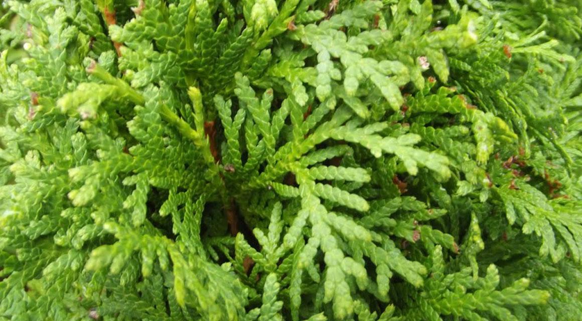 Thuja (Lebensbaum) in Trockenperioden
