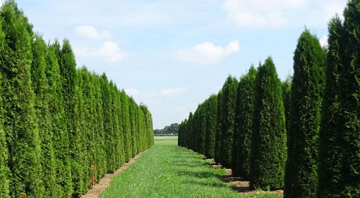 Thuja occidentalis 'Smaragd' als Fertig-Hecke kaufen