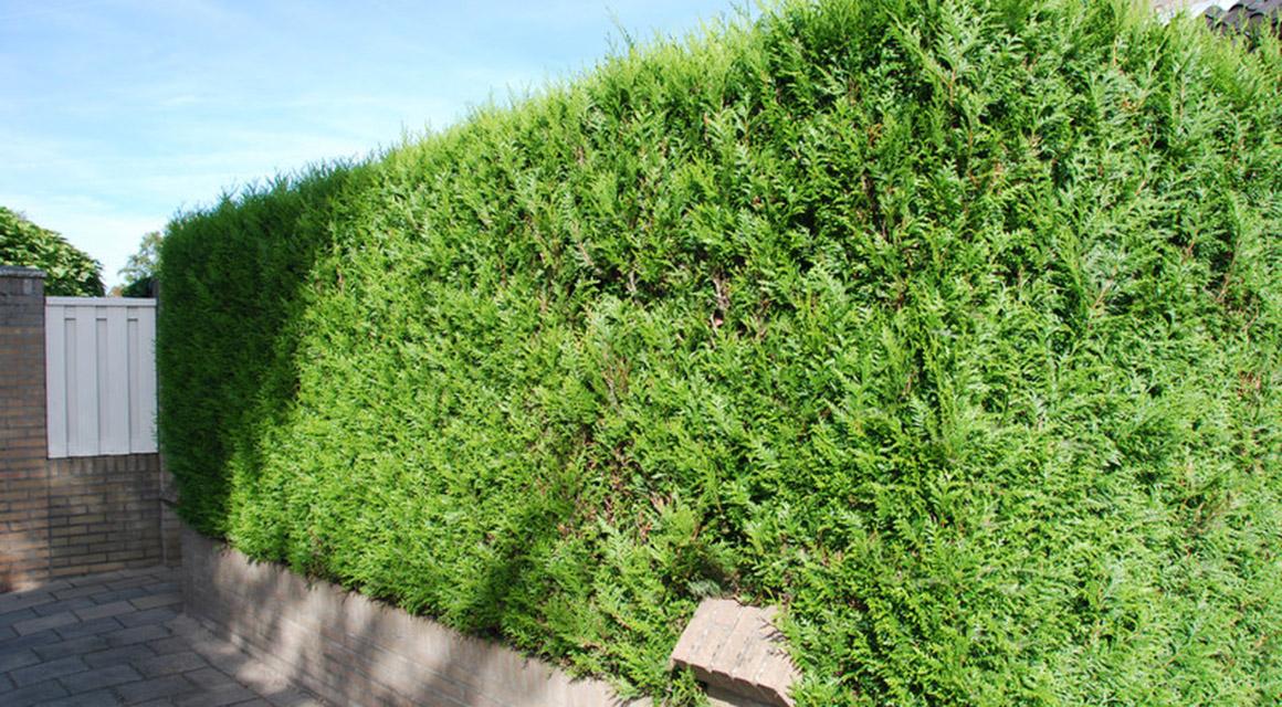 De Thuja plicata of Reuzenlevensboom: wat voor haagplant is dat?
