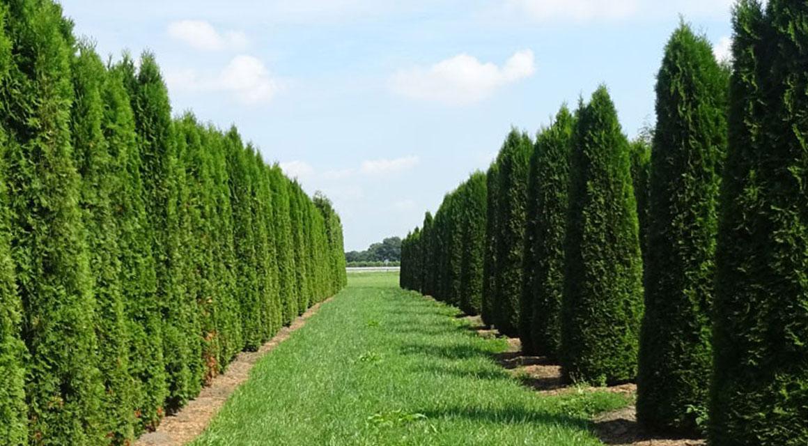 Wat is de thuja 'Smaragd' voor haagplant?