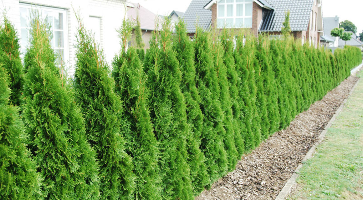 Een mooie haag van thuja 'Smaragd' in uw tuin