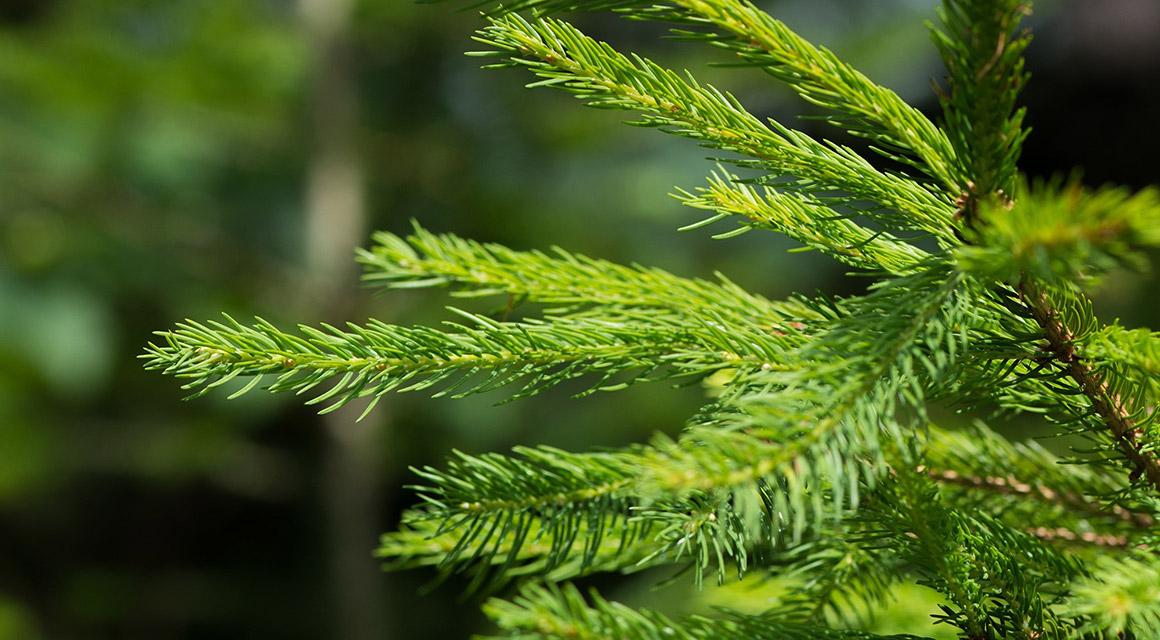 Overige tips voor het bemesten van coniferen