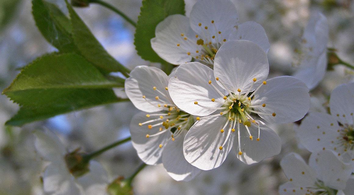 Tips voor een haag die zo lang mogelijk bloeit