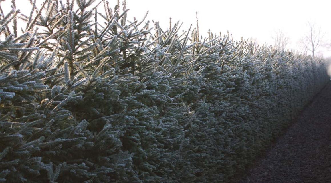 Overige tips bij het verplaatsen van coniferen