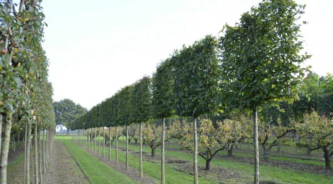 Een andere tuintrend: leibomen