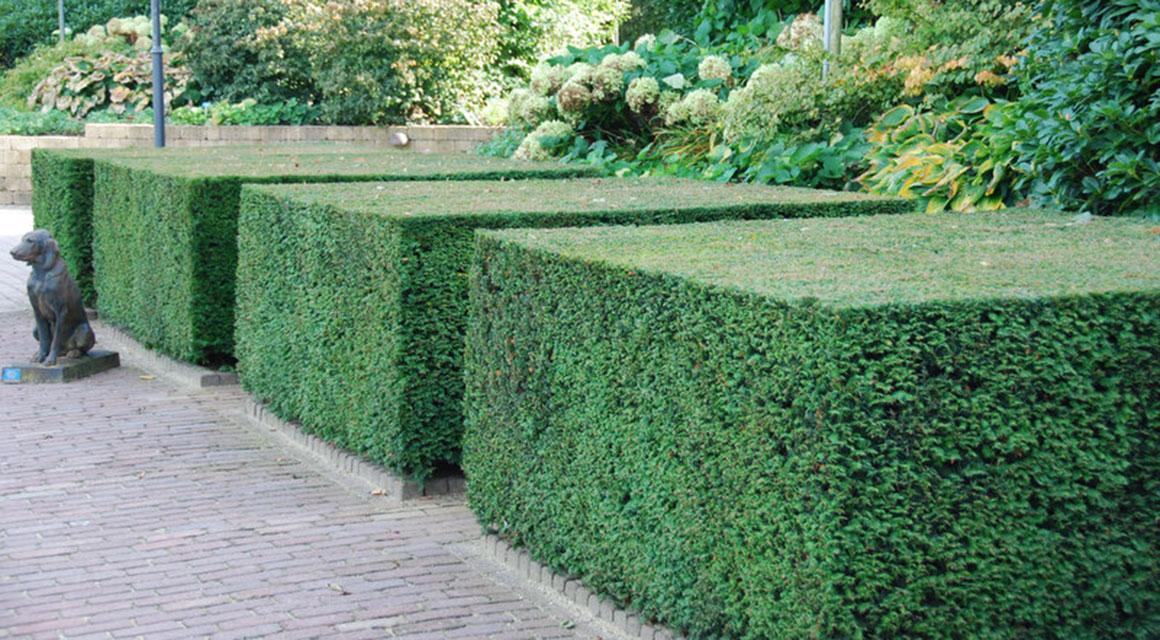 Venijnboom (taxus) in blokvorm