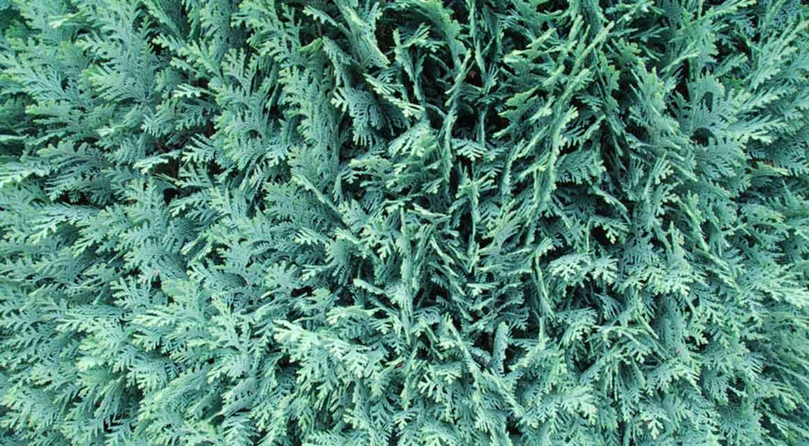 Kan een vergroeide coniferenhaag drastisch worden teruggesnoeid?