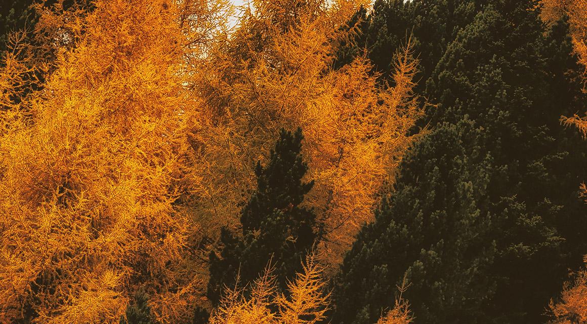 Verkleurde coniferen door schimmelziekten