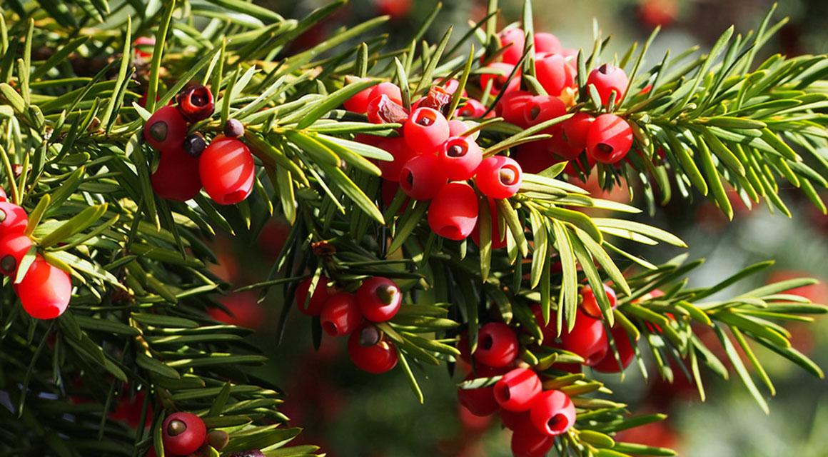 Verschillende soorten coniferen