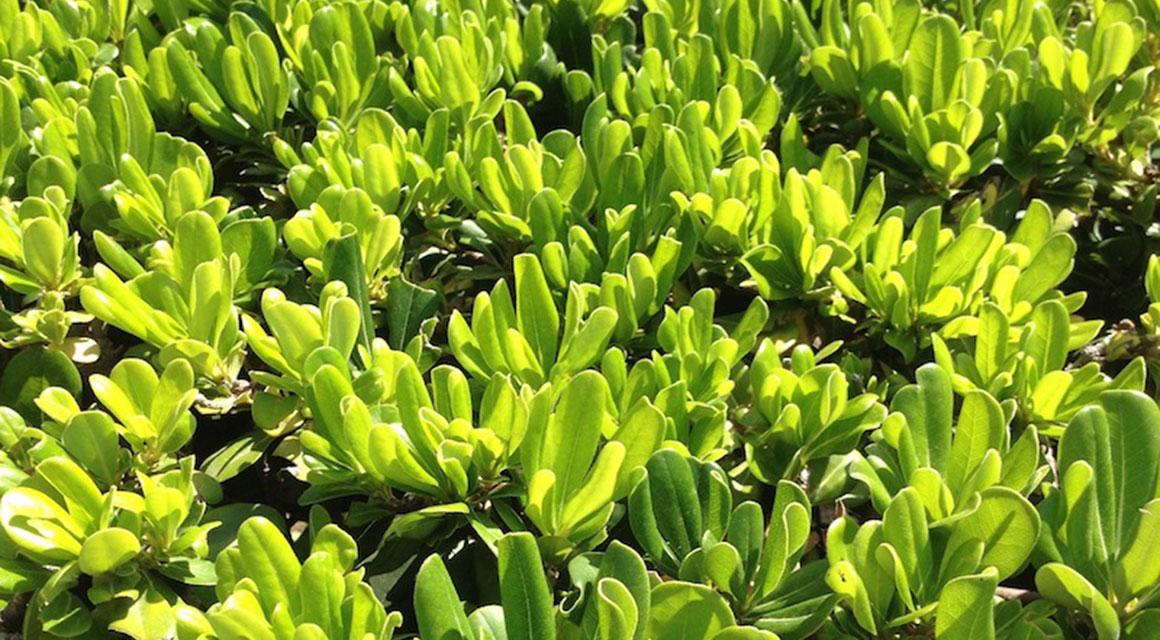 Volwassen planten kunnen beter tegen de droogte dan jonge