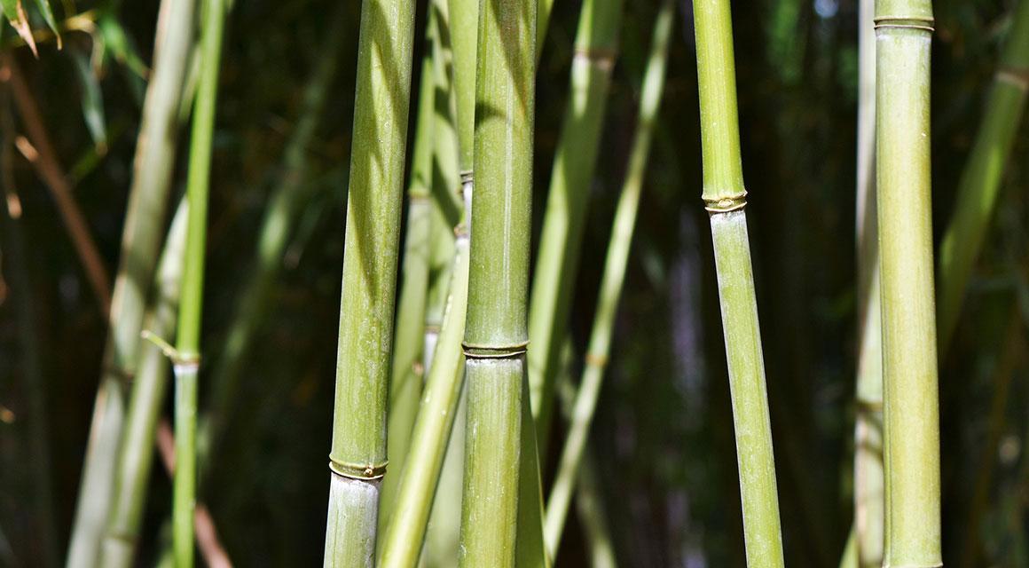 Voordelen van een bamboehaag