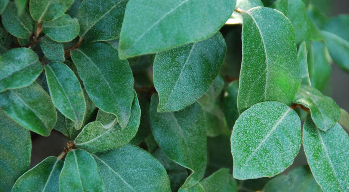 De voordelen van bladhoudende haagplanten