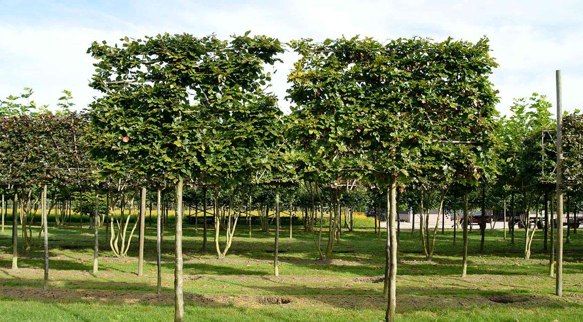 Voorgeleide leibomen