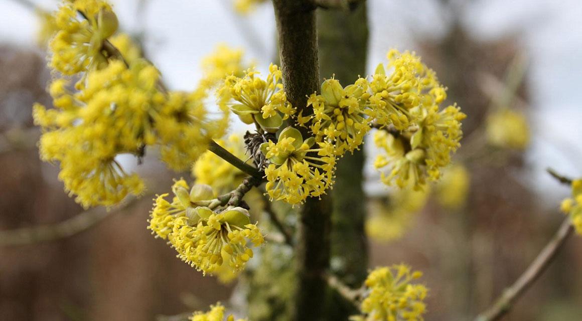 De vroege bloei van de gele kornoelje