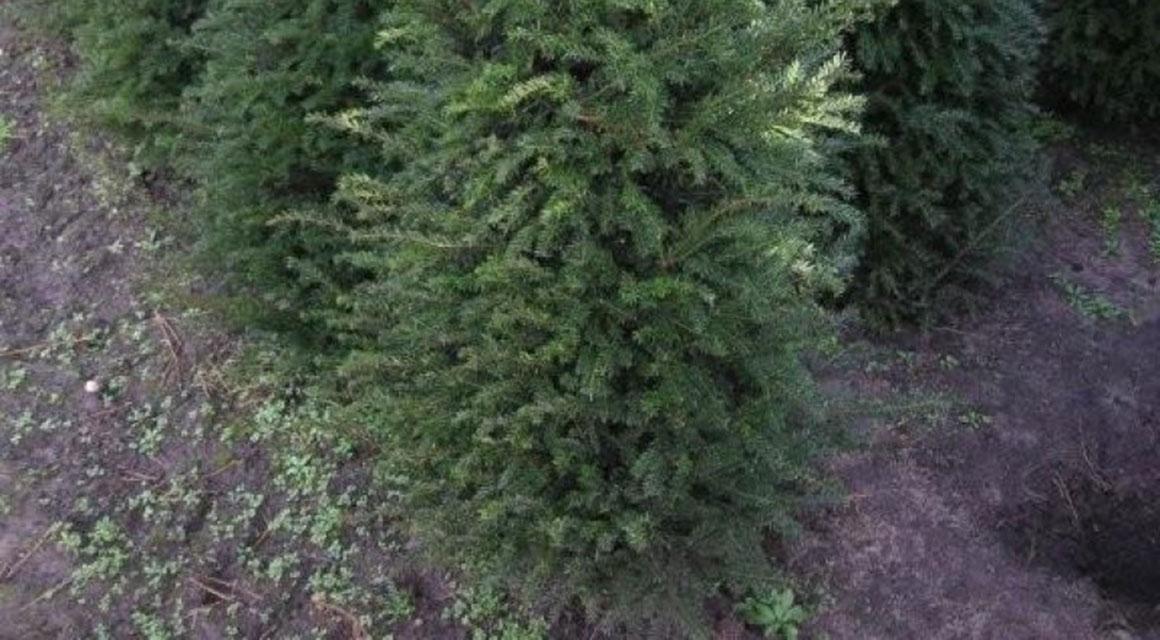 Waarom een kant-en-klare coniferenhaag?