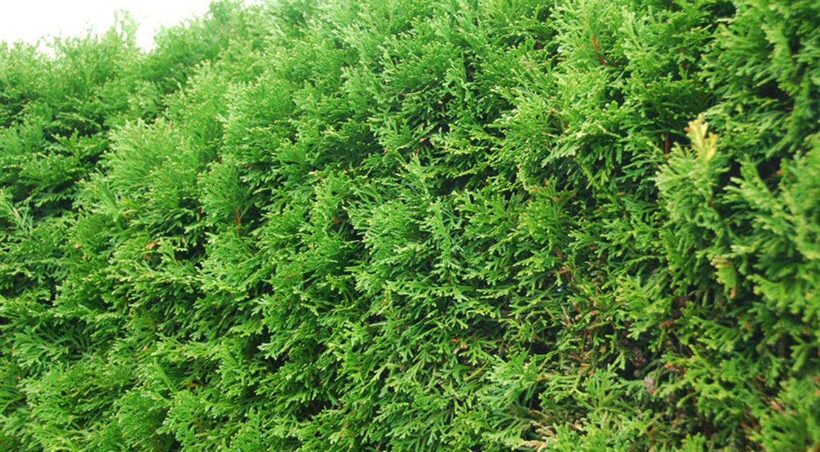 Westerse levensboom 'Smaragd'