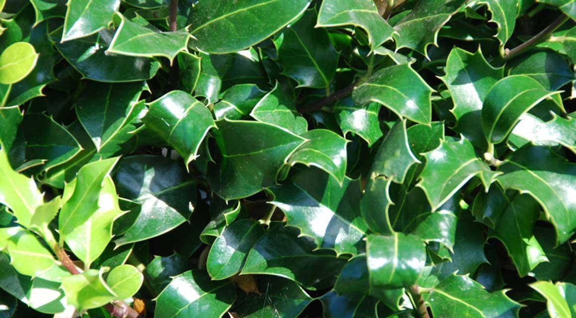 Wintergroene haagplanten ook nadelen