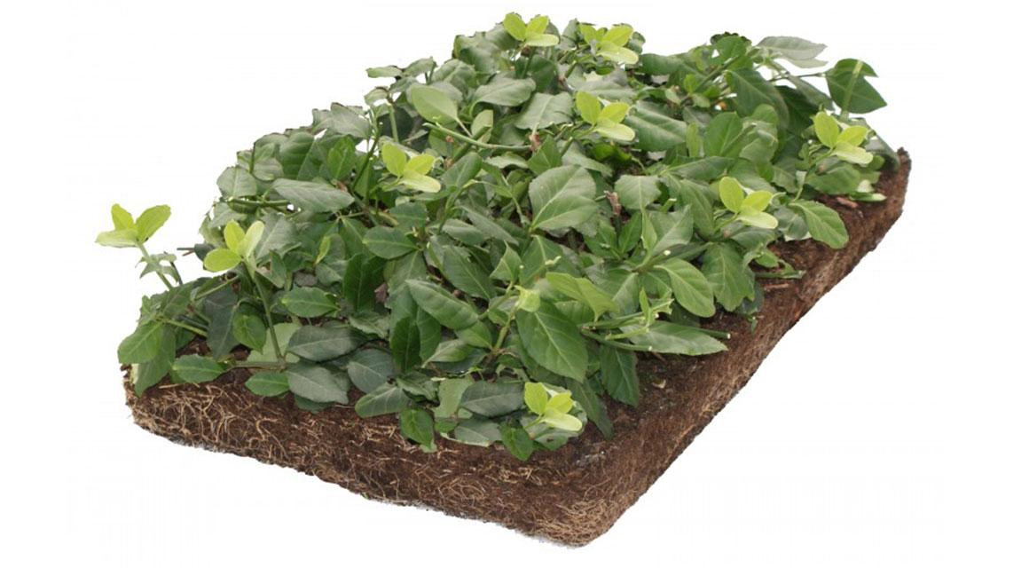 Wintergroene of bloeiende bodembedekkers?