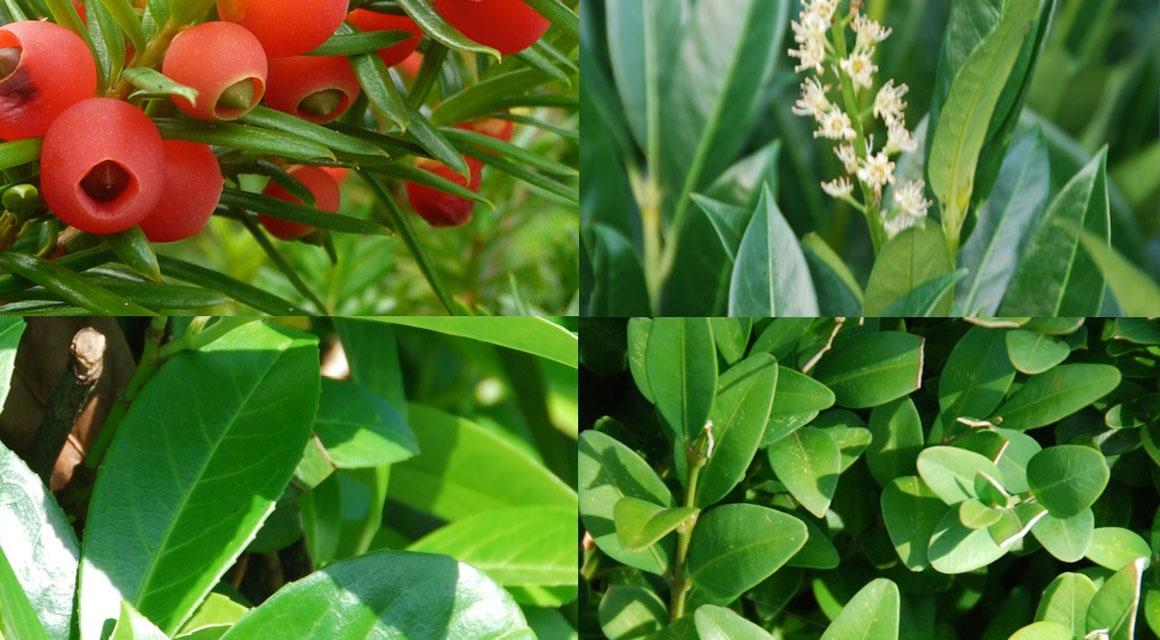 Wintergroene haagplanten voor de natuurlijke tuin