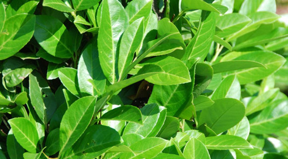 Zijn wintergroene haagplanten ook winterhard?