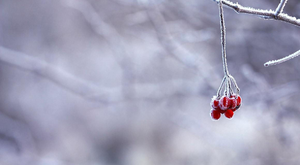 Zijn er nog meer wintergroene haagplanten?