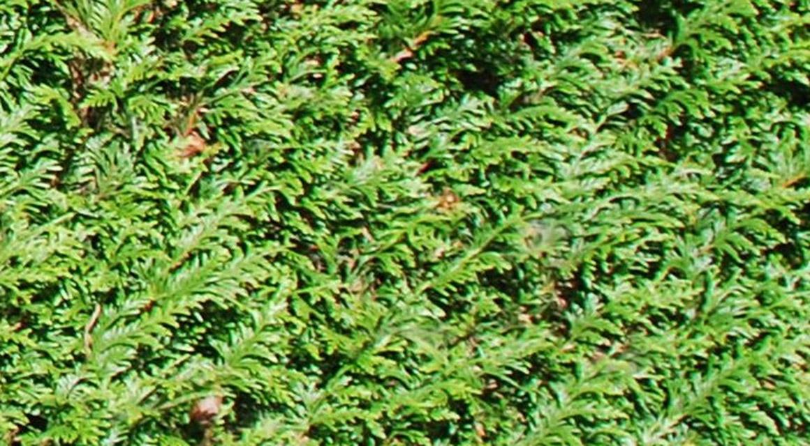 Hoe winterhard is de Thuja plicata 'Atrovirens' precies?