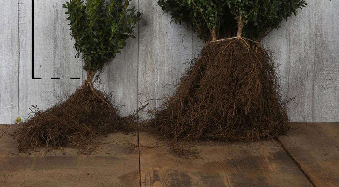 De wortels voorbereiden op het planten