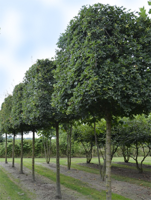Leiboom-Carpinus-Betulus