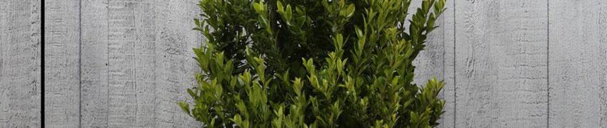 Ilex maximowicziana 'Kanehirae': de beste vervanger voor buxus?