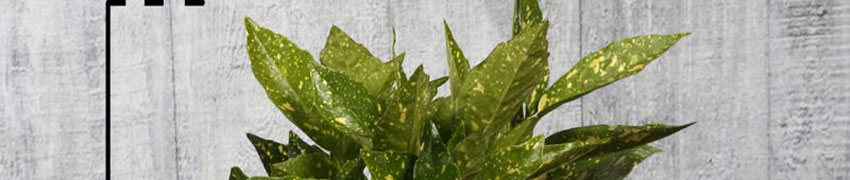 Aucuba japonica Crotonifolia planten
