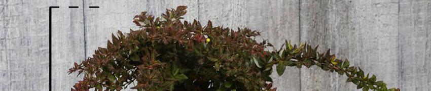 Berberis verruculosa in de tuin